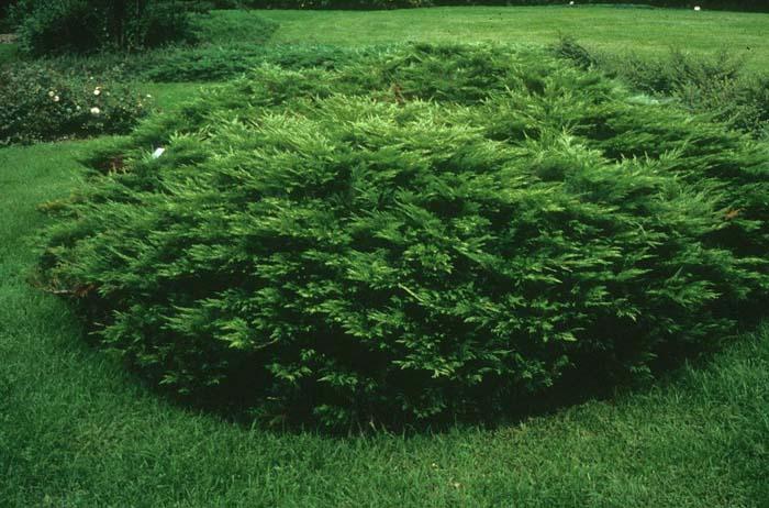 Juniperus sabina 'Acadia' LADWP