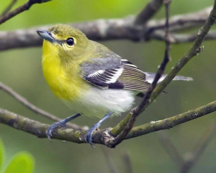 Yellow throated vireo fall - photo#13