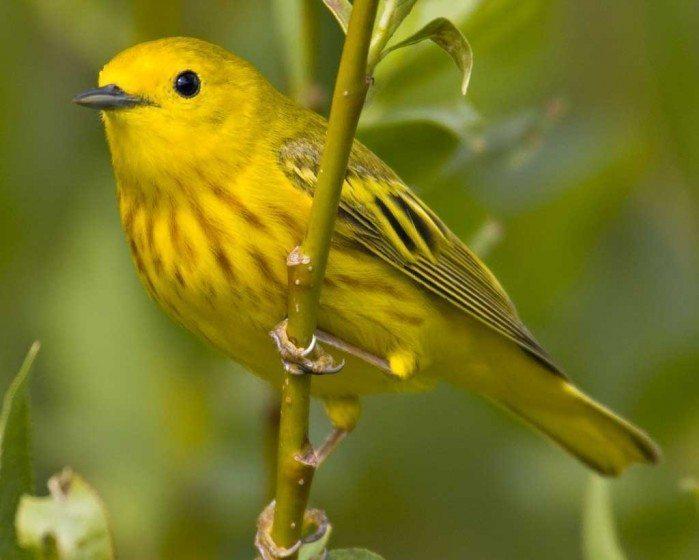 Yellow_Warbler_(audubon)