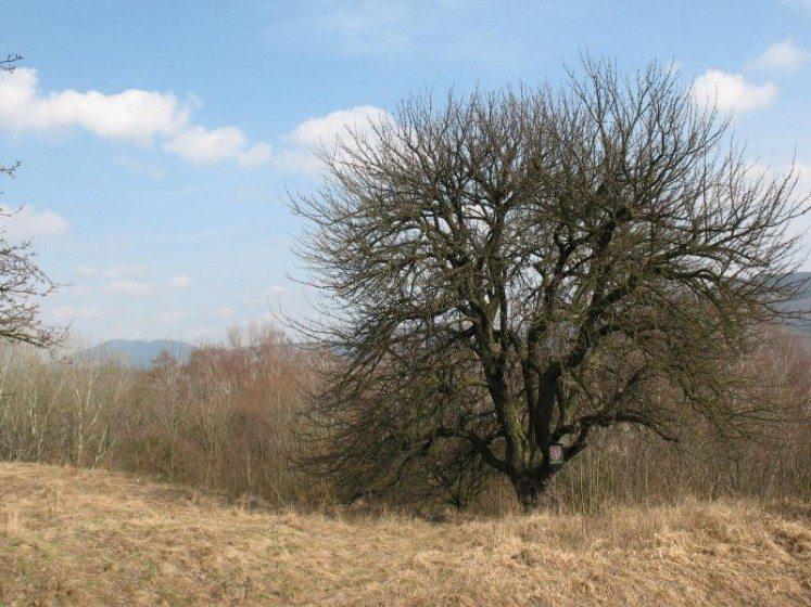 Wild Pear Tree_Jana Karasová
