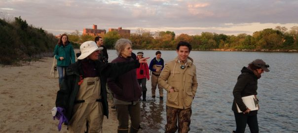 nac-horseshoe-crab-monitoring-brooklyn