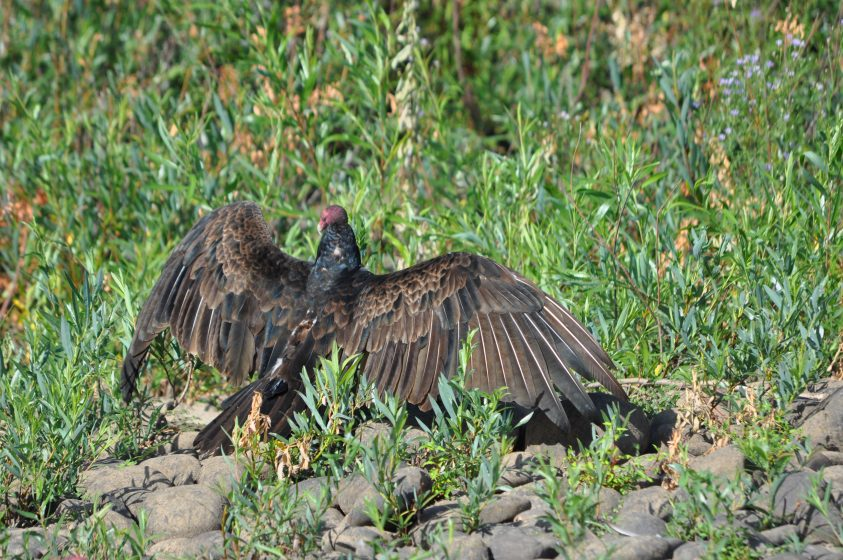 turkey-vulture-sunning-photo-mike-houck-dsc_0969
