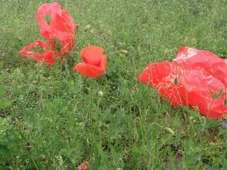 Time of the poppies the nature of cities plastic and poppies photo andreas weber mightylinksfo