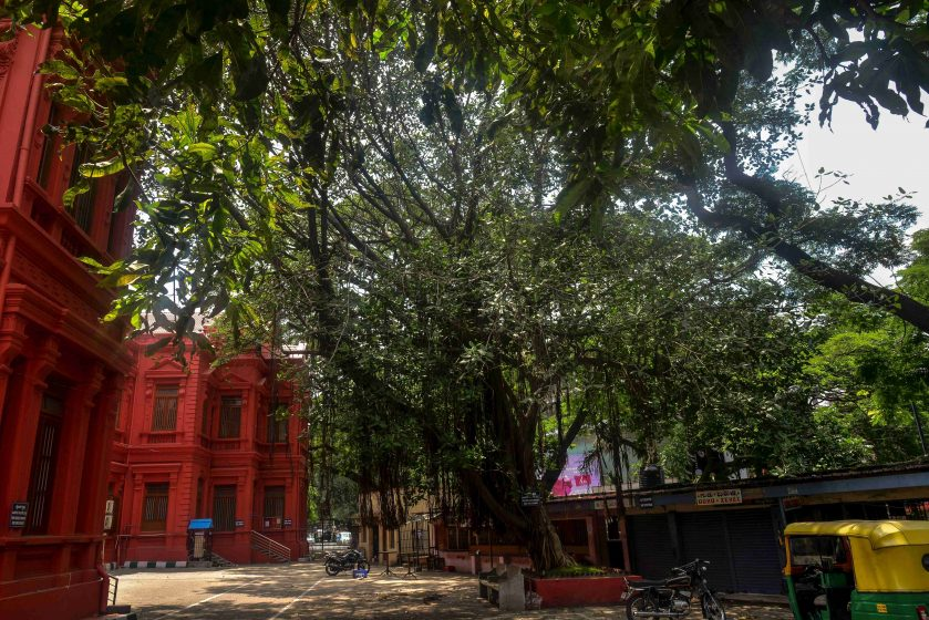 At Mayo Hall (a heritage colonial building housing the City Civil Court), an irregular, sprawling Ficus elastica is contained within a cemented square, a bench placed neatly parallel to the square, and its hanging roots well-trimmed so as not to interfere with the asphalt. Photo credit: Suri Venkatachalam