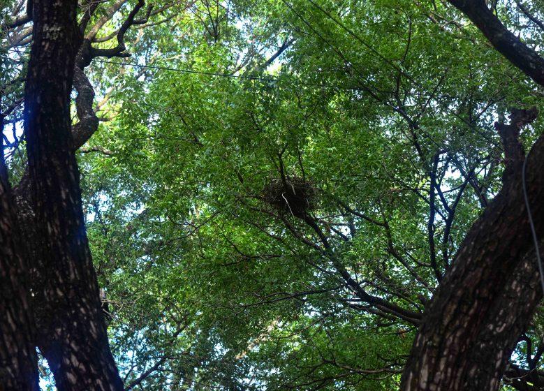 Birds nest in overhead trees, safe from traffic and from ground predators. Photo credit: Suri Venkatachalam