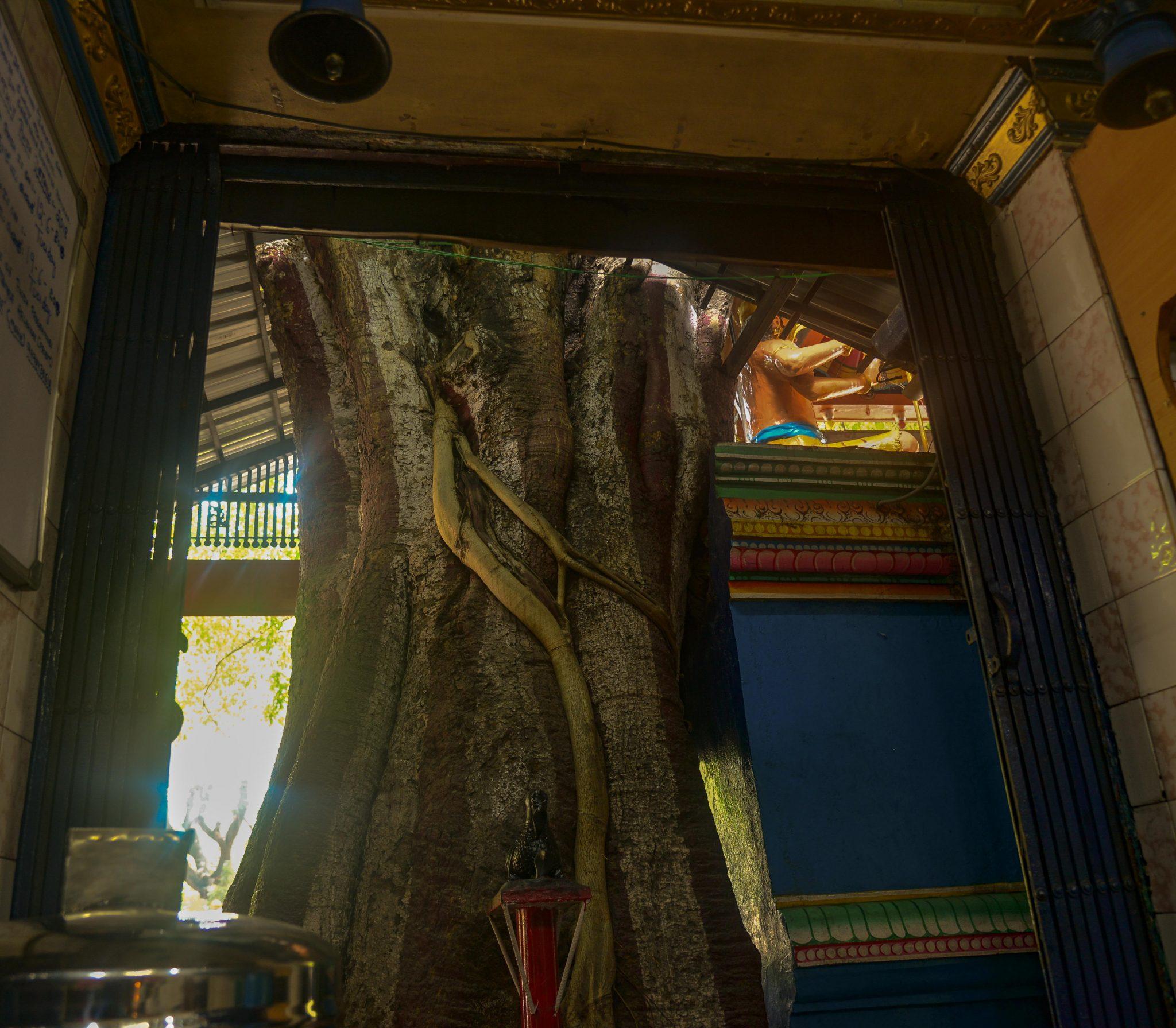 The Maha Muniswara temple, built around a Ficus tree. Photo credit: Suri Venkatachalam