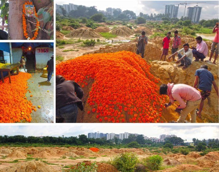 7effb4c5f16 Marigolds (Tagetes erecta) in Indian life