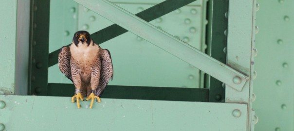1 Peregrine Falcon on Bridge Photo Bob Sallinger WIDE