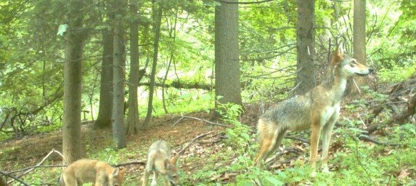 coyote with pups