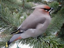 Bohemian waxwing. Photo: Wayne Hall