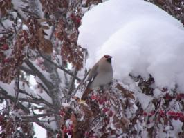 Waxwing on a snowy mountain ash. Photo: Wayne Hall