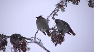 Waxwings on mountain ash. Photo: Wayne Hall