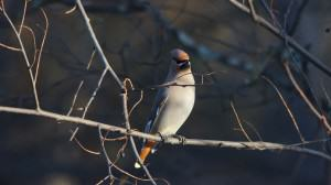 Waxwing on an ash. Photo: Wayne Hall