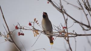 Waxwing eating a mountain ash berry. Photo: Wayne Hall