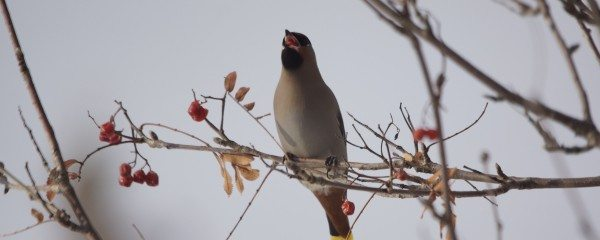 6. waxwing eating mtn ash berry
