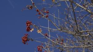 Mountain ash berries, a favorite waxwing food. Photo: Wayne Hall