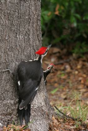 Pileated woodpeckers foraging on a tree. Woodpeckers use trees for both foraging and nesting.  Courtesy of UF/IFAS, Thomas Wright.