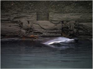 The Gowanus Canal dolphin. Photo: Brandon Rosenblum http://www.flickr.com/photos/wesbran/sets/72157632606818159/