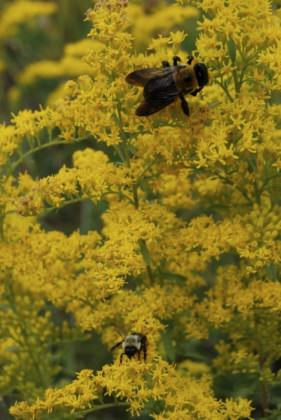 Bees visiting goldenrod flowers on a school green roof in the Bronx, New York City.  Photo: Matt Palmer