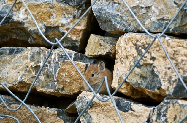 Himalayan Pika peeks through the rocks of a retaining wall on the road outside Kibber. Photo: Madusudan Katti