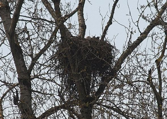 West Hayden Island Eagle on nest in 2013. Photo: Bob Sallinger