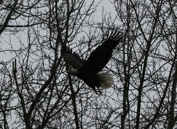 West Hayden Island Eagle in Flight 2012. Photo: Bob Sallinger