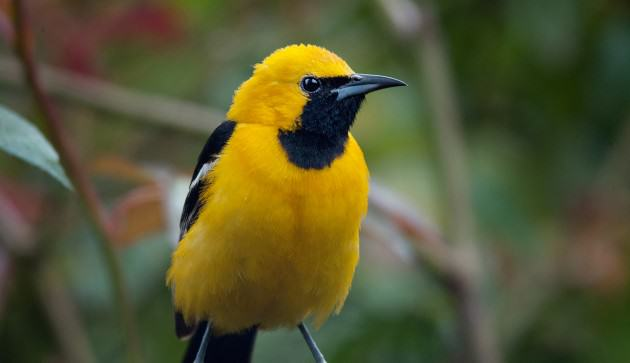 Hooded Oriole. Photo: Walter Kitundu