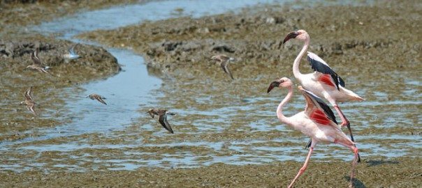 A pair of lesser flamingos in Mumbai's busy port area.  Photo: Madhusudan Katti