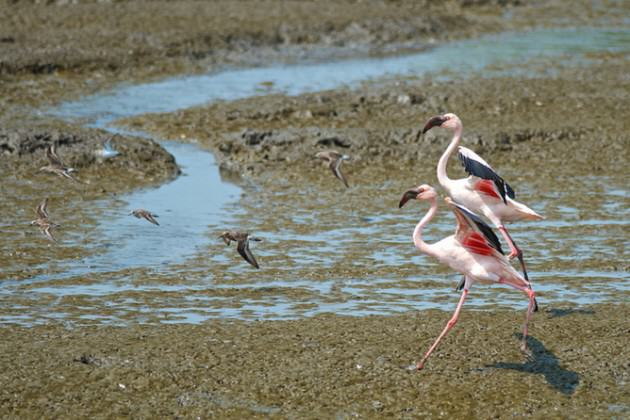 A pair of lesser flamingos in Mumbai's busy port area.  Photo: Madhusudan Katti