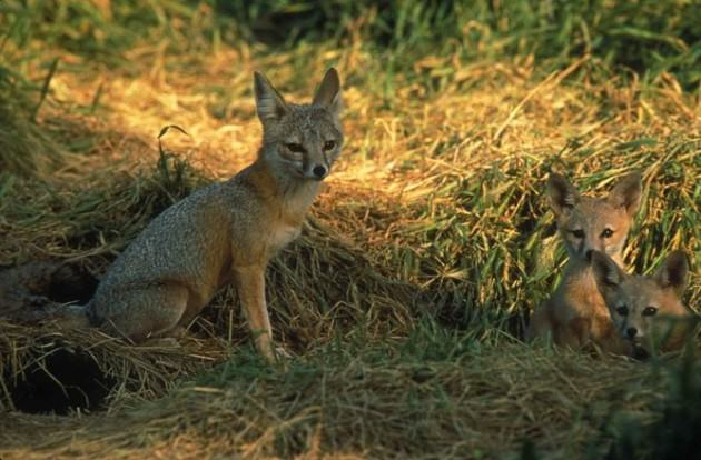 San Joaquin kit foxes find survival easier in suburbia than their natural habitat. Photo: Peterson B. Moose