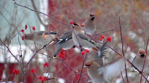 1.	A flock of bohemian waxwings feeds on rose hips fruit in a south Anchorage yard. Photo credit: ©Kim Behrens