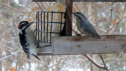 A downy woodpecker and red-breasted nuthatch share space at a feeder in a south Anchorage yard. Photo: ©Kim Behrens