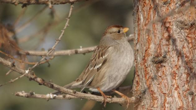 This white-crowned sparrow is an Anchorage winter rarity that stayed the season in a mid-town yard. Photo: ©Wayne Hall