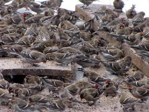 A flock of common redpolls crowd together while feeding on seed scattered on boards and snow, south Anchorage yard. Photo: ©Kim Behrens.