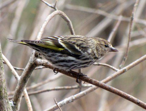 Though not as common as redpolls in winter, pine siskins like this one are another member of the finch family to inhabit Anchorage in winter. Photo: ©Kim Behrens