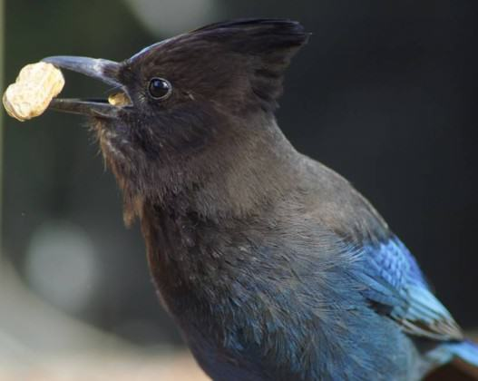 A Steller's jay grabs a peanut in a mid-town Anchorage yard. Photo: ©Wayne Hall