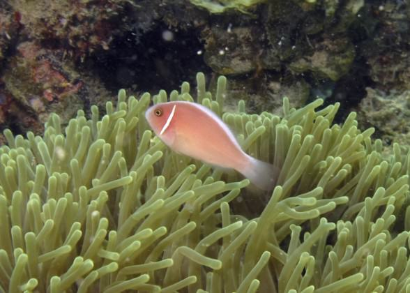 Clownfish co-existing with sea anemone Photo: Karenne Tun