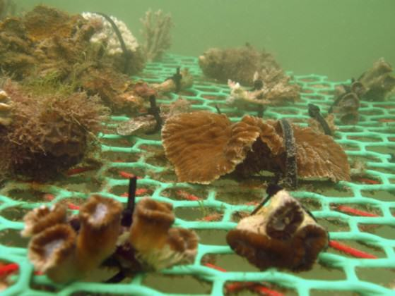 Coral nursery in Singapore Photo: National Parks Board of Singapore