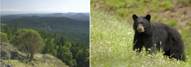 LEFT: Looking out across the Sooke Hills to the west.  Photo: Heath Moffatt Photography. RIGHT: Young black bear eating new spring growth in the CRD.  Photo: iStock.