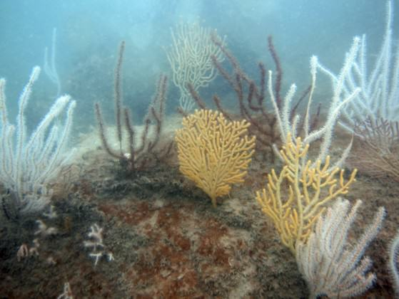 Sea fans on sea walls in Singapore. Photo: Karenne Tun