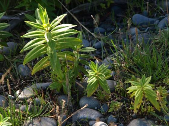 Hebe salicifolia seedlings that established in the red zone after the Feb 2011 earthquake. Photo: Glenn Stewart