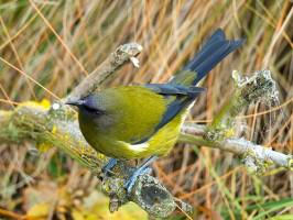 New Zealand native bellbird. Photo: www.naturewatch.org.nz
