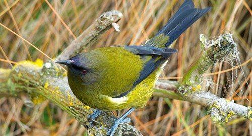 New Zealand native bellbird. Photo: www.naturewatch.org.nz