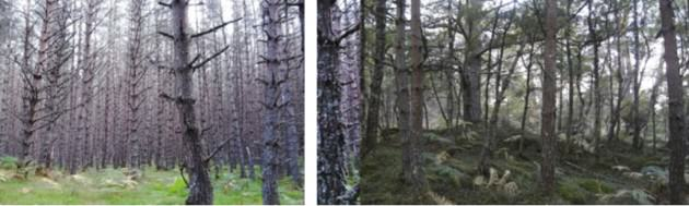 Left: A view to the east in the potato patch. Right: Across the trail a view west to a similarly aged area of pine forest with a bit more diversity in its age structure and a more intact understory condition (Collins & Goto Studio, 2013).
