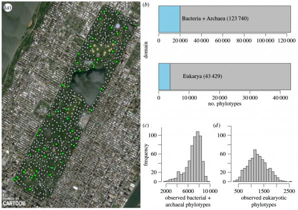 Central Park microbiome. LEFT: Map of the 596 sampling locations in Central Park. RIGHT: Only 16.2% of sequences of all bacterial and archaeal species matched the Greengenes database. Of the eukaryotic species found in Central Park, only 8.5% of sequences matched the SILVA database. Histograms of (c) bacterial and archaeal and (d) eukaryotic observed number of phylotypes by samples (a-diversity) across the Park. Reproduced with permission from Ramirez et al. 2014